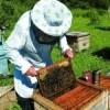 Дачница подает в суд на соседа и его пчел