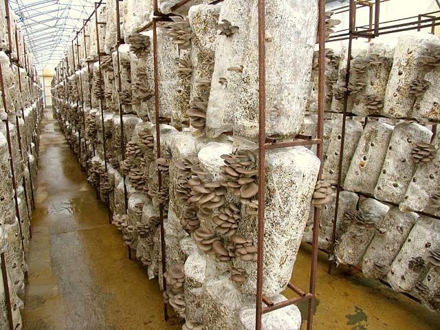 Помещение для выращивание грибов вешенка в домашних условиях 727