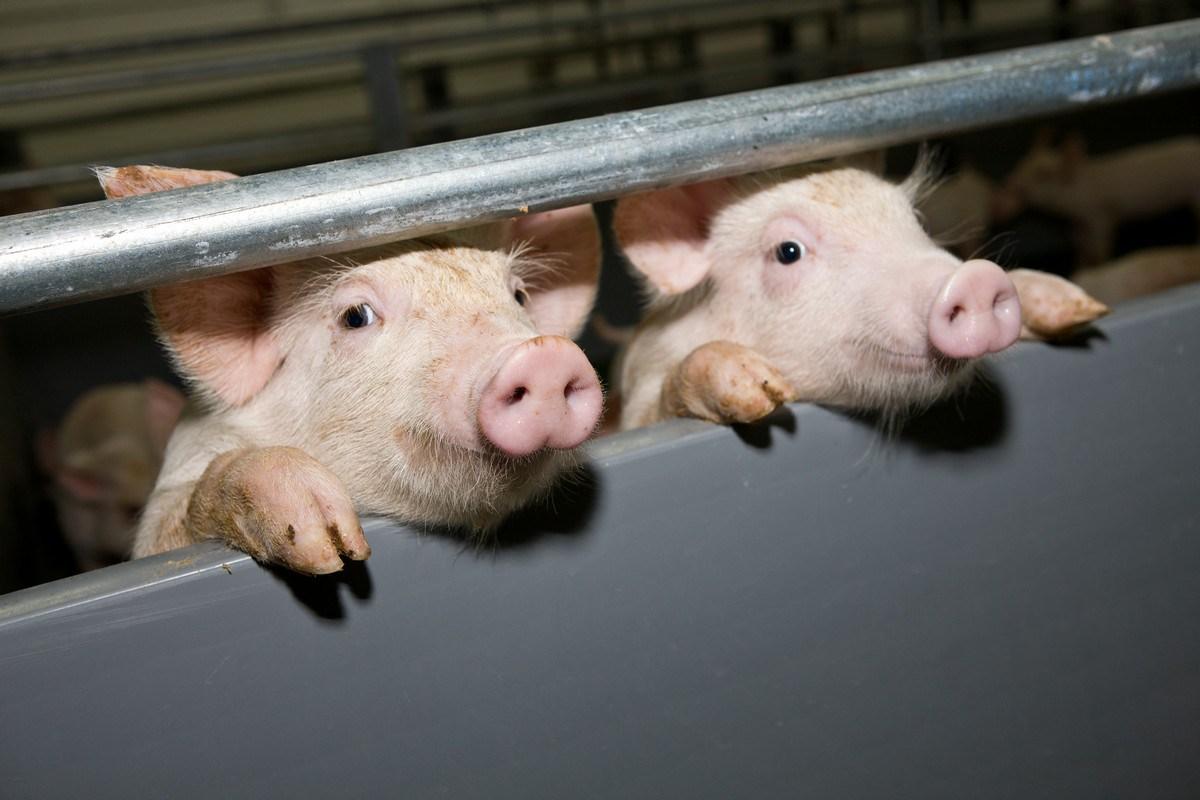 RBPI начала строить новый свиноводческий комплекс вНижегородской области